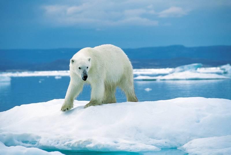 Где живут полярные медведи фото