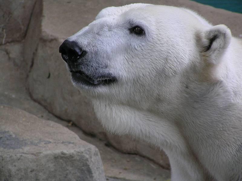 Голова белого медведя фото