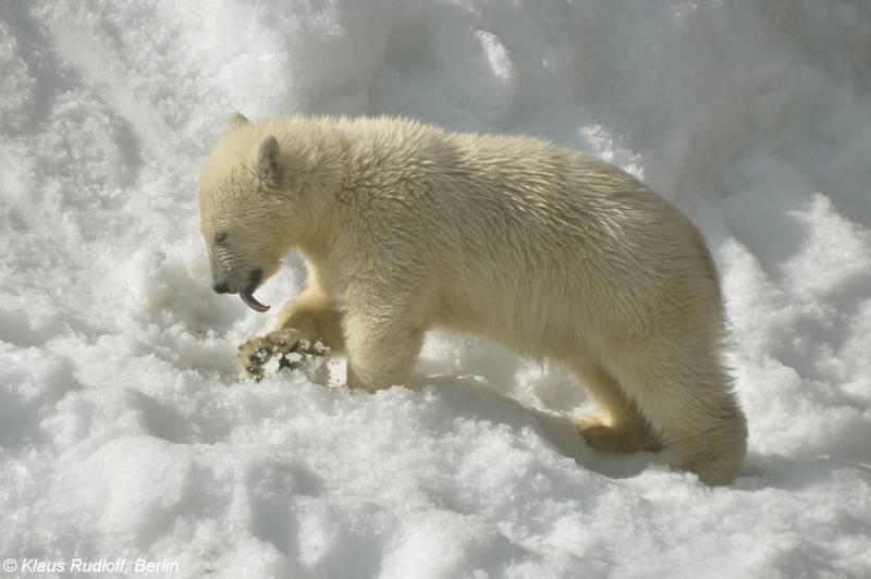 Детеныш белого медведя фото