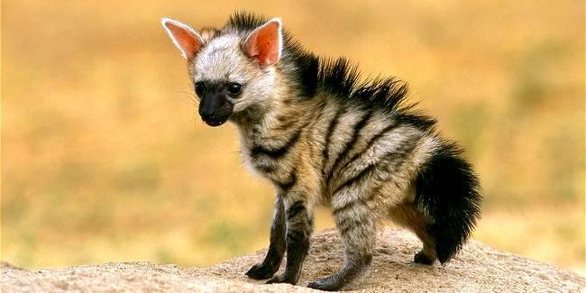 Детеныш земляного волка фото