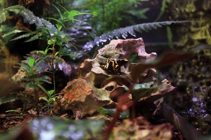 Домашний листолаз в террариуме фото