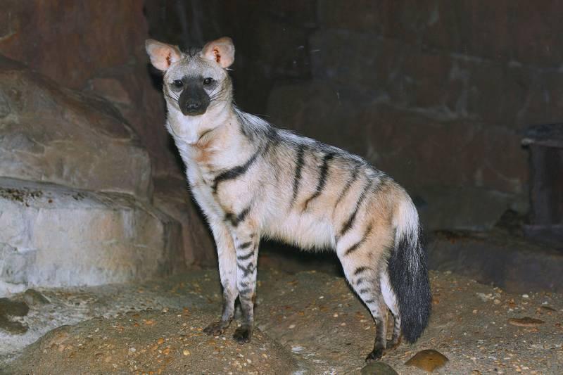 Земляной волк фото (лат. Proteles cristatus)