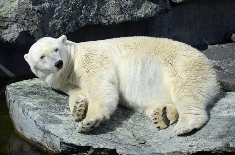 Лапа белого медведя фото