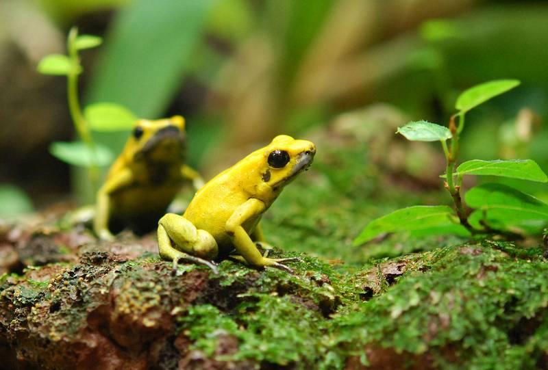 Лягушки листолазы фото