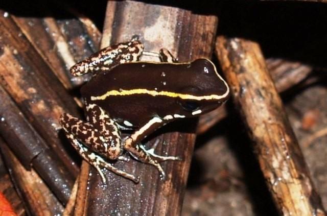 Очаровательный листолаз фото (лат. Phyllobates lugubris)