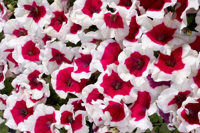 Петуния многоцветковая Селебрити Роуз Фрост фото