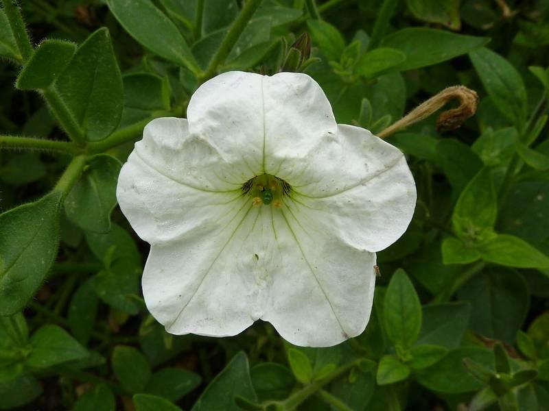 Петуния пазушная фото (лат. Petunia axillaris)