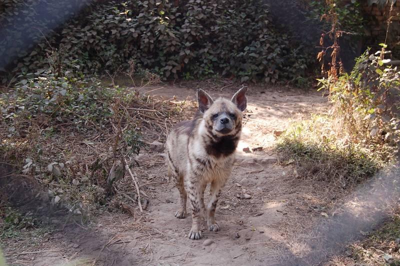 Полосатая гиена фото (лат. Hyaena hyaena)