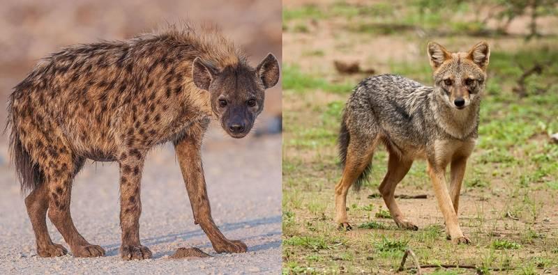 Чем отличаются гиены от шакалов фото