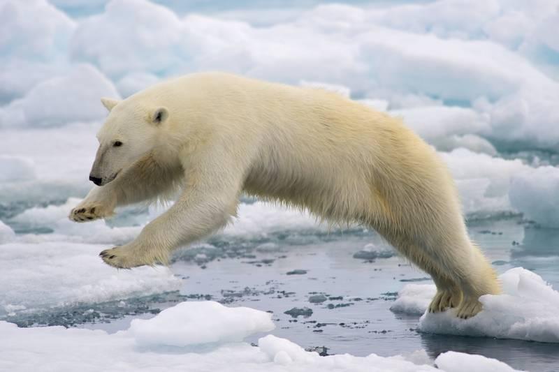 Шерсть белого медведя фото