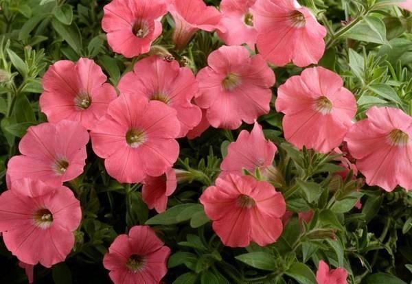 Ампельная петуния сорт Лавина розовая фото