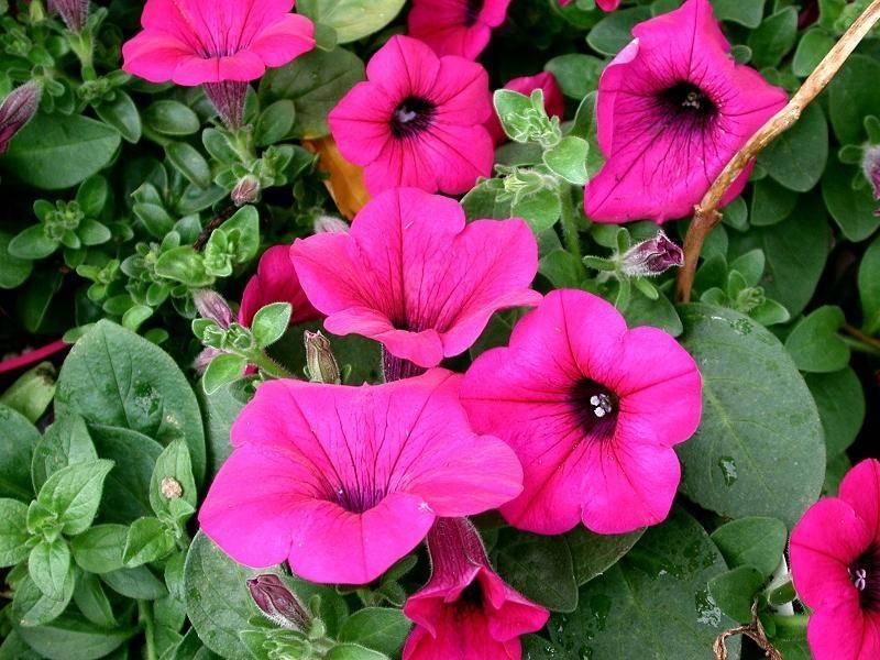 Ампельная петуния сорт Пурпурный Вельвет фото