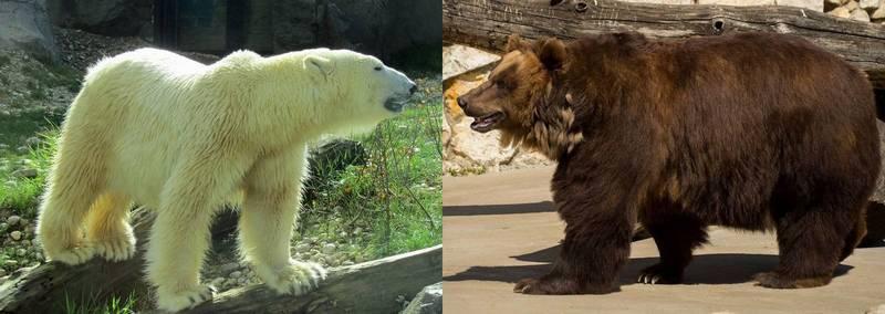 Белый и бурый медведь фото