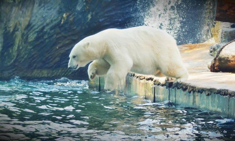 Картинки по запросу белый медведь