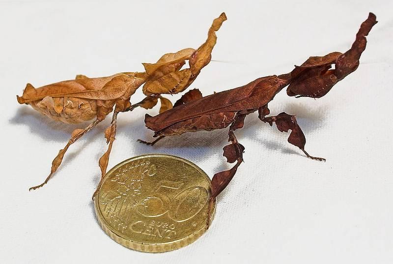 Богомолы Phyllocrania paradoxa фото