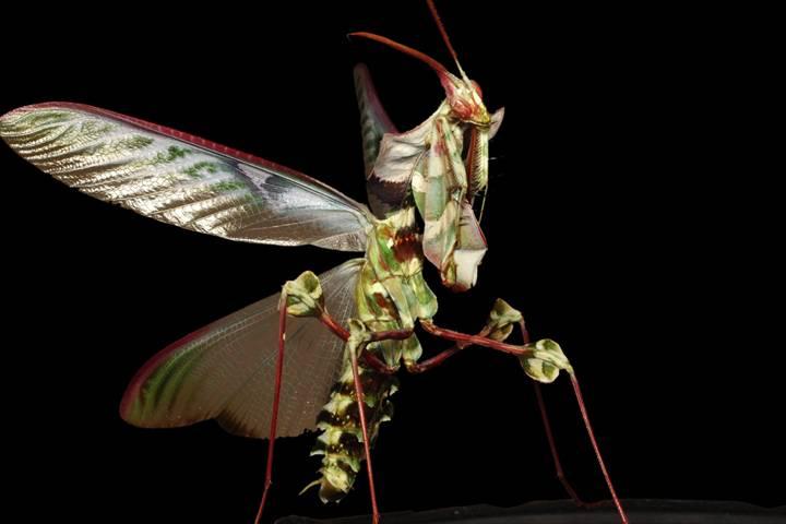Богомол Чёртов цветок (Дьявольский цветок) фото (лат. Idolomantis diabolica)