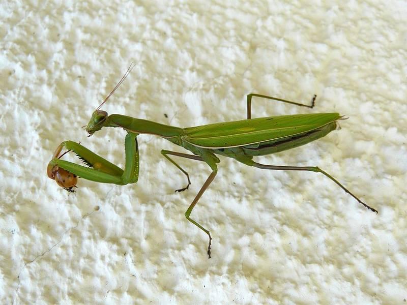 Богомол обыкновенный фото (лат. Mantis religiosa)
