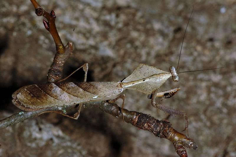 Богомол Deroplatys lobata фото