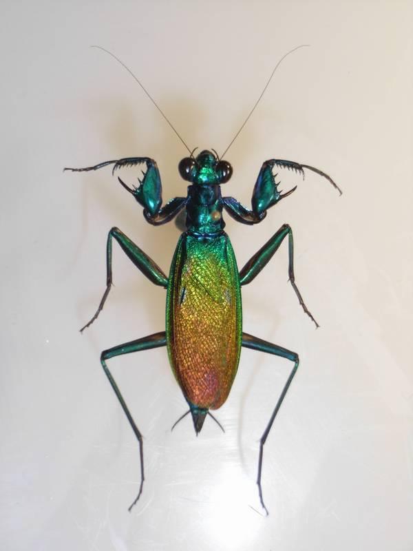 Богомол Metallyticus splendidus фото