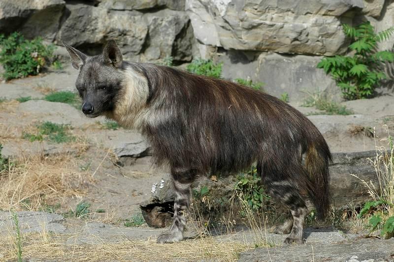 Бурая гиена фото (лат. Hyaena brunnea)