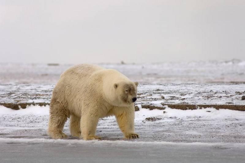 Гибрид белого и бурого медведя фото