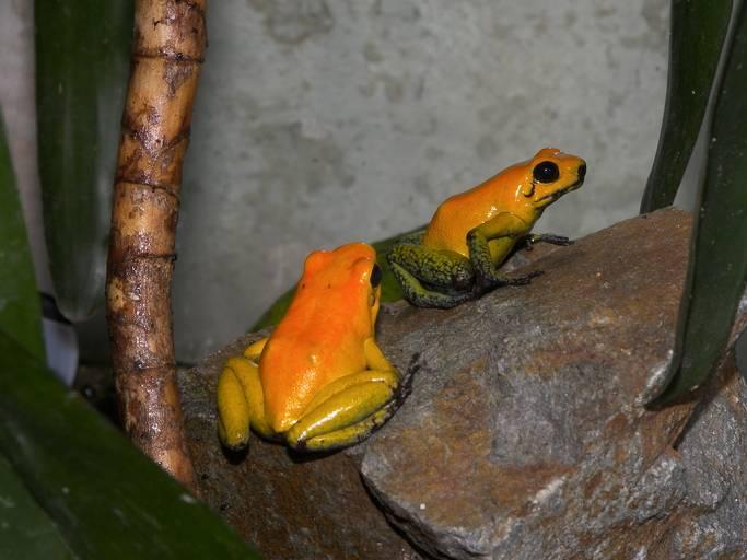 Двухцветный листолаз фото (лат. Phyllobates bicolor)