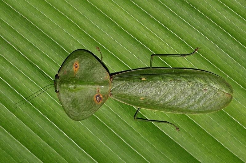 Зеленый богомол Choeradodis rhombicollis фото