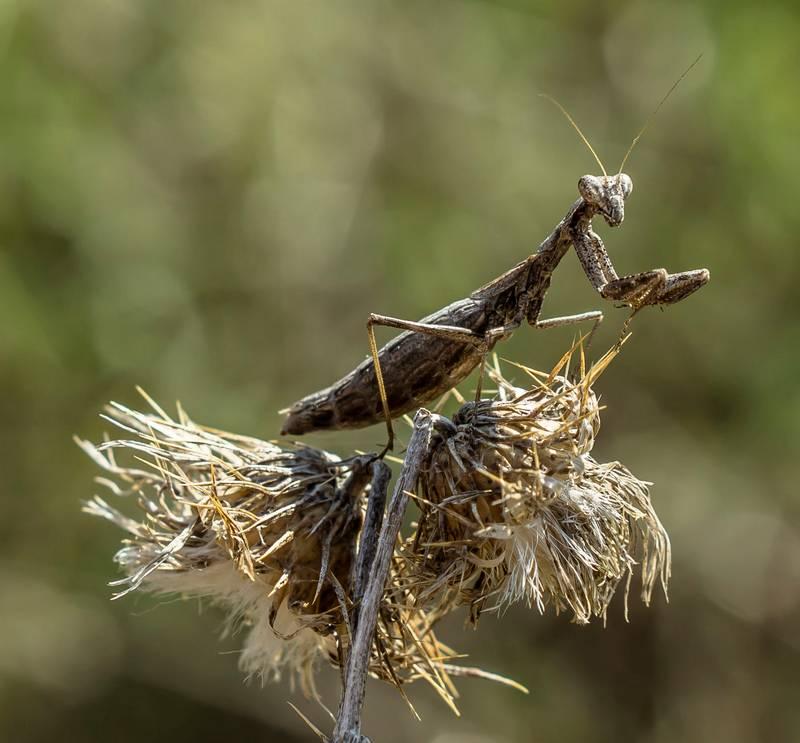 Земляной богомол фото (лат. Geomantis larvoides)