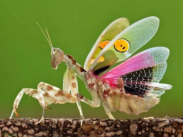 Индийский цветочный богомол фото (лат. Creobroter gemmatus)