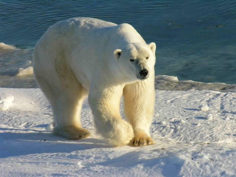 Как выглядит белый медведь фото