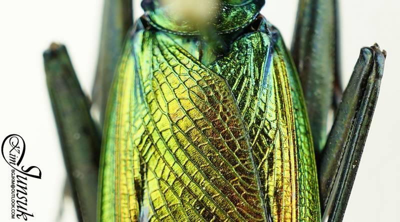 Крылья богомола Metallyticus splendidus