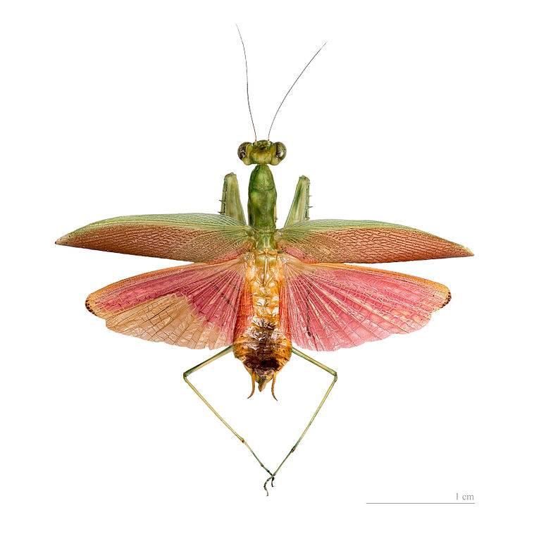 Крылья богомола Tithrone roseipennis фото