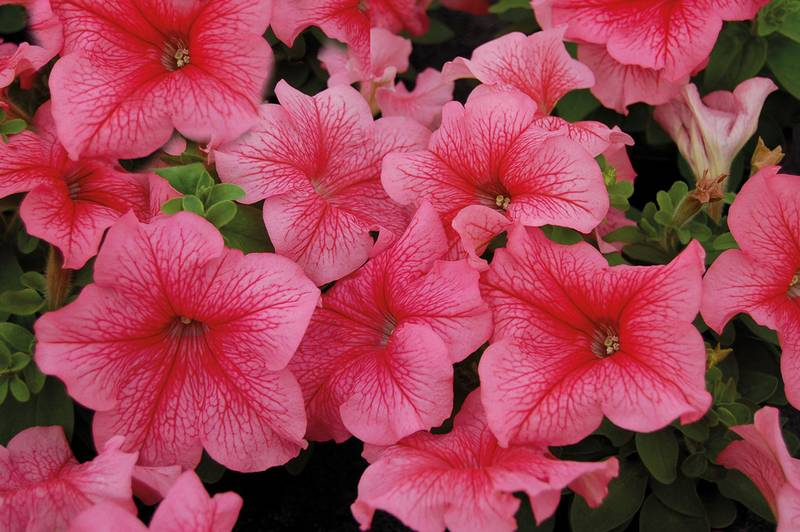 Кустовая петуния сорт Лимбо Ред Вейнед фото (Petunia Limbo Red Veined)