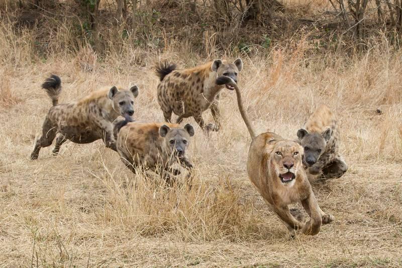 Львы и гиены фото
