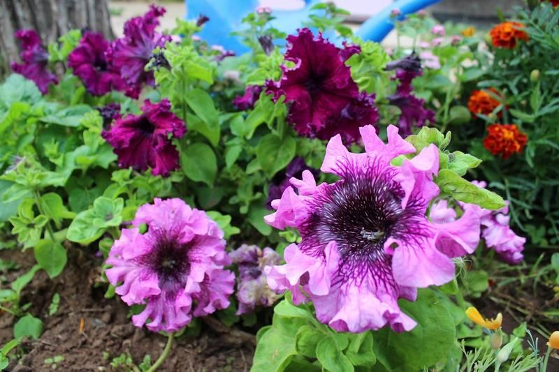 Махровая кустовая петуния сорт Триумф фото (Petunia Triumph)