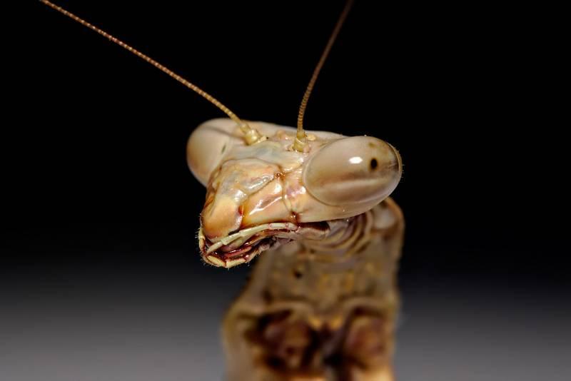 Нитевидные усики богомола Archimantis latistyla фото