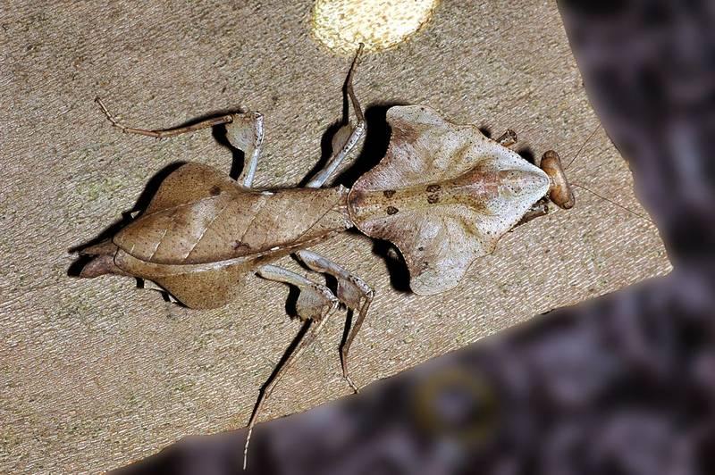Окрас коричневого богомола Deroplatys lobata фото
