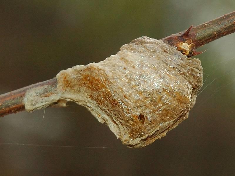 Оотека обыкновенного богомола фото