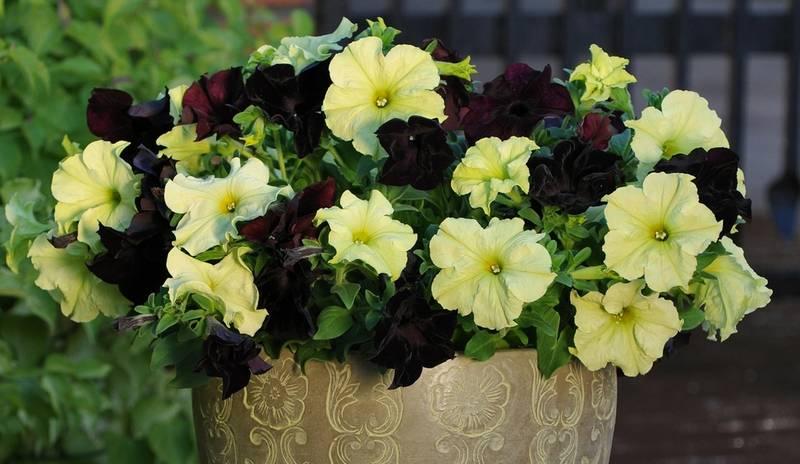 Петунии крупноцветковые Софистика Блекберри и Лайм грин фото