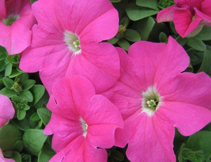 Петуния Ультра Розовая фото (Petunia Ultra Rose)