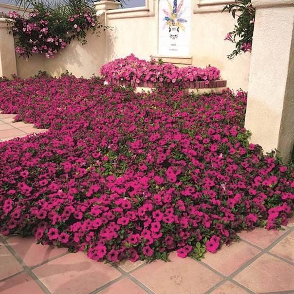 Петуния ампельная сорт Вейв Пёрпл фото (Petunia Wave Purple)