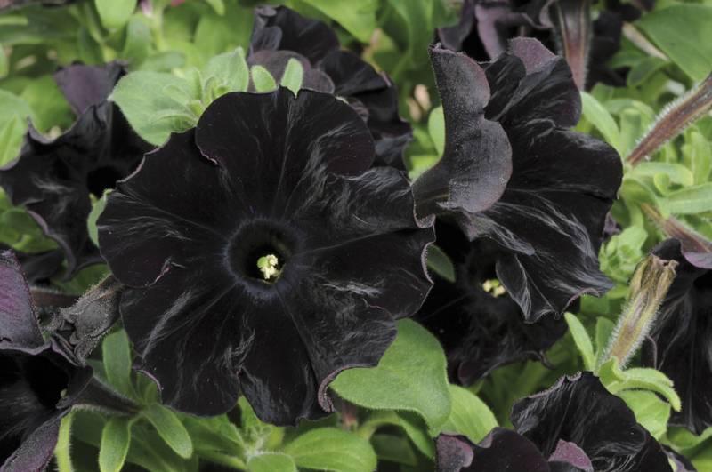 Петуния грандифлора Черный Бархат фото (Petunia Grandiflora Black velvet)