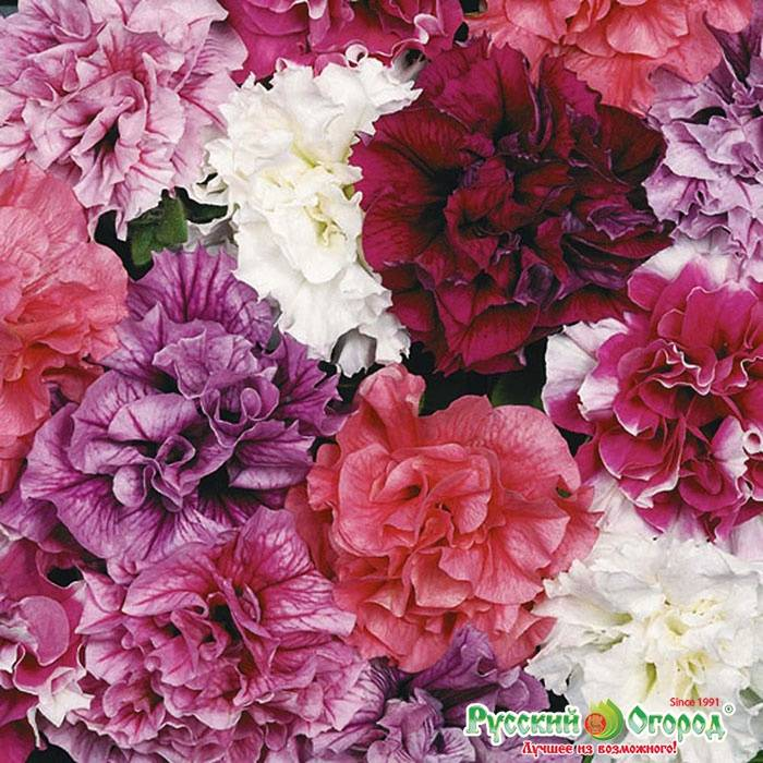 Петуния крупноцветковая Дабл Каскад F1 фото (Petunia grandiflora Double Cascade F1)
