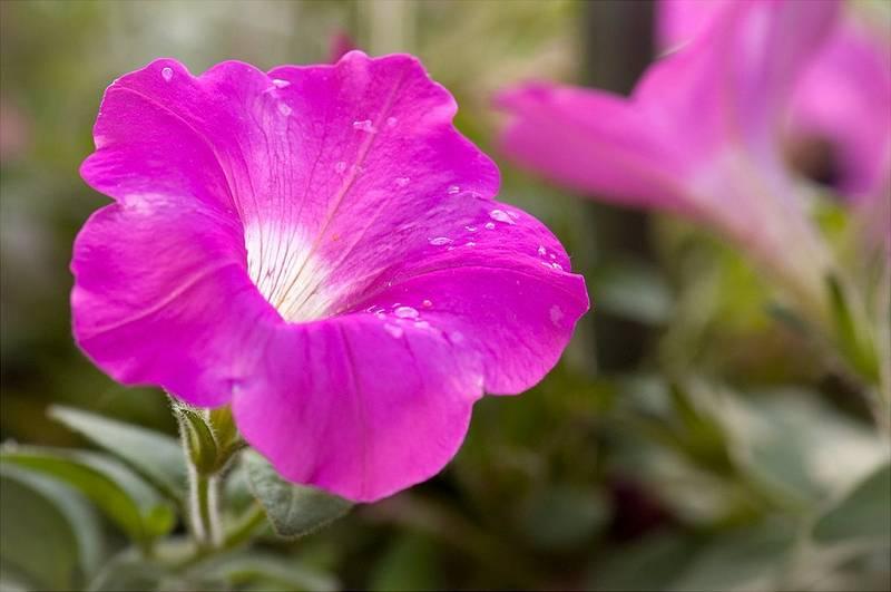 Петуния фиолетовая фото (лат. Petunia violacea)