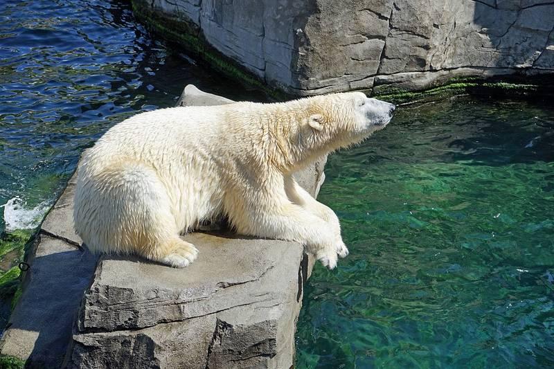 Полярный медведь (северный медведь) фото