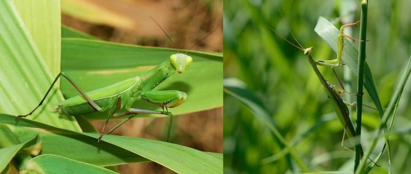 Самец и самка обыкновенного богомола фото (лат. Mantis religiosa)