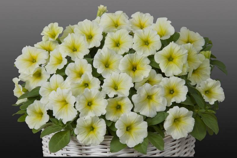 Сорт петунии Джоконда Lime Yellow фото