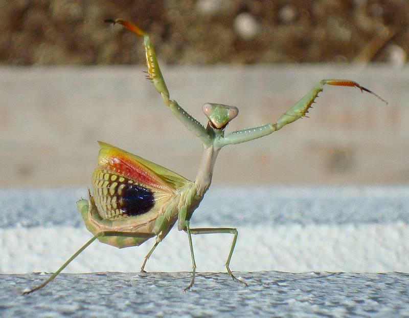 Угрожающая поза богомола фото (вид - Iris oratoria)