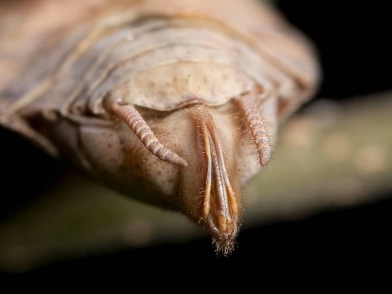 Церки и яйцеклад самки богомола Stagmomantis carolina фото