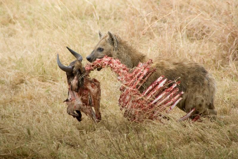 Что едят гиены фото